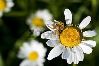 Krabbenspinnen, Braune Krabbenspinne mit Beute auf einer Margerite (Ozyptila praticola), Crab spider with prey, Ozyptila praticola