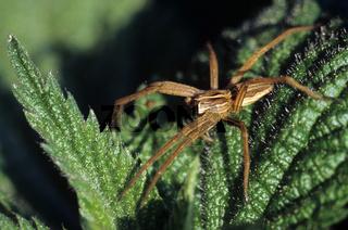 Listspinne, Jagdspinne, Pisaura mirabilis, Nursery web spider