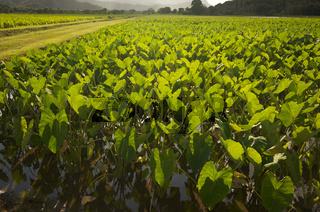 Hanalei Valley and Taro Fields on Kauai, Hawaii