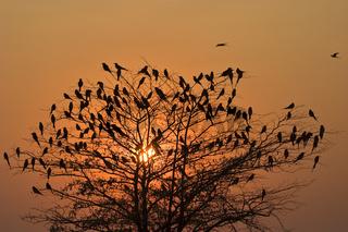 Karminspint, Bienenfresser (Merops nubicoides) bei Sonnenuntergang, Caprivizipfels, Sambesi, Zambezi, Namibia, Afrika, Carmin Bee-eater at sunset, Caprivi Strip, Africa