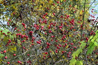 rosehip berries on the bush