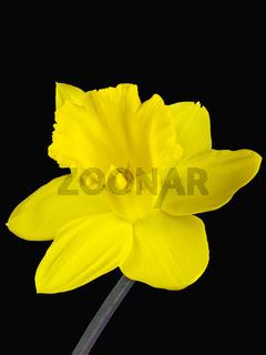 Nahaufnahme der gelbe Blüte einer Osterglocke freigestellt auf schwarzem Hintergrund
