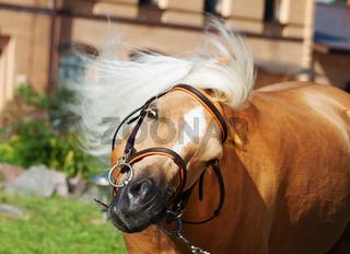 funny portrait welsh pony