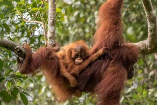 Female orangutan with baby