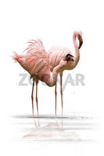 Flamingos wd17
