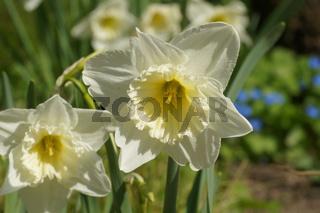 Narcissus x incomparabilis, Schalen-Narzisse, Nonesuch Daffodil