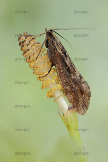 Koecherfliege (Trichoptera)