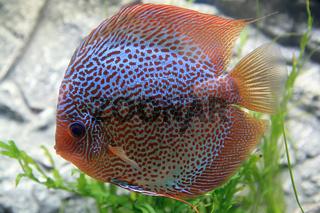 Diskusfisch, Discus fish, Symphysodon aequifasciatus