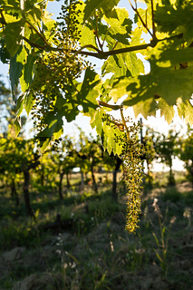 Small green grapes on vineyard