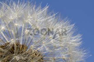 Pusteblume vor blauem Himmel (Taraxacum officinale)