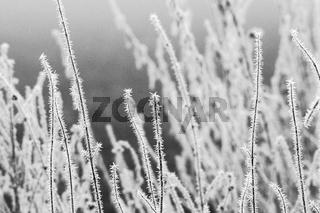Gras mit Rauhreif
