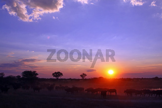 Büffel bei Sonnenuntergang, Moremi Wildreservat Botswana