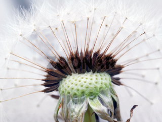 Extreme close-up of a dandelion in full bloom