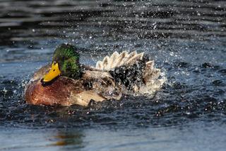 Stockene, badende, Anas platyrhynchos, Wild duck, bathing
