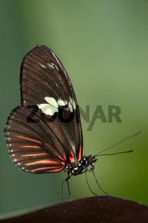 Doris Falter, Heliconius doris, Doris butterfly