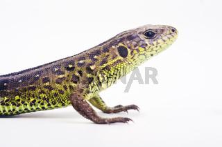 Zauneidechse weibchen (Lacerta agilis) - sand lizard (female) (Lacerta agilis)