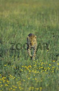 Leopard, Panthera pardus, leopard