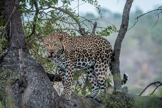Leopard looking out of a tree.