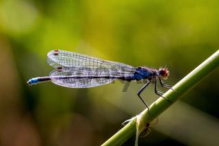 libelle - Azur junfer