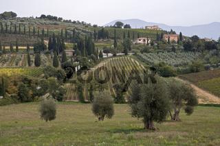 Olivenbaeumen beim Kloster Sant' Atimo, Toskana, Italien, Europa, olive trees at cloister, tuscany, italy