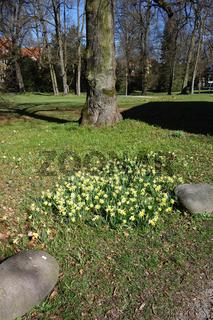 Narcissus pseudonarcissus, Trompeten-Narzisse, Wild Daffodil
