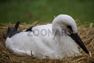 Acht Wochen altes Weißstorch-Junges (Ciconia cicon