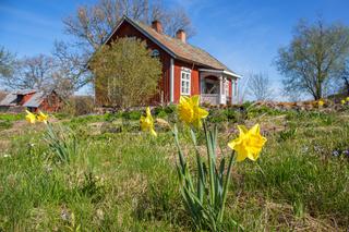 Flowering Daffodil in a garden