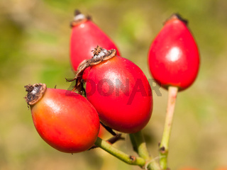 four fresh red ripe rose hips wild on branch rosa canina