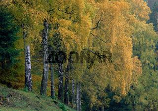 Herbstliches Birkenlaub