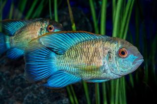 Portrait of cichlid fish (Andinoacara sp.) in aquarium