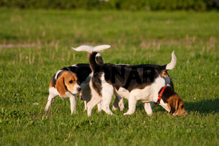 Happy beagle dogs in a park