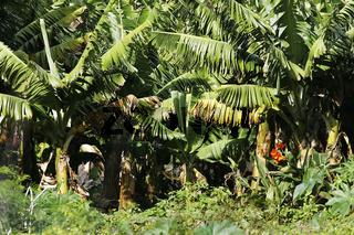 Bananenplantage, La Gomera