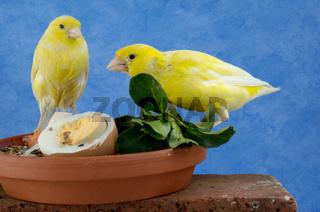 Kanarienvoegel an Futternapf, Serinus canaria, Canaries at feeding bowl, Studio