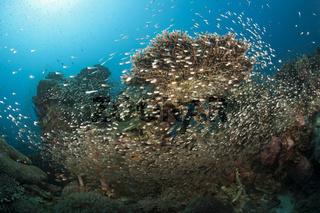 Glasfische umschwaermen Korallenriff, Indonesien