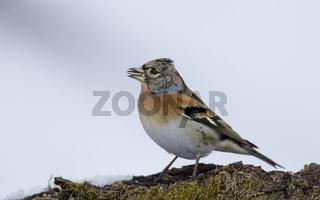 Bergfink Maennchen, Fringilla montifringilla, brambling - male