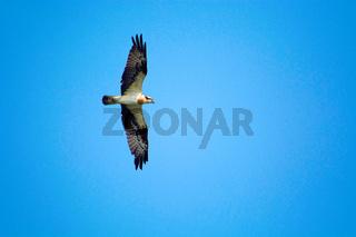 The osprey, Pandion haliaetus, Nameri National Park