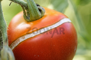 Tomate geplatzt