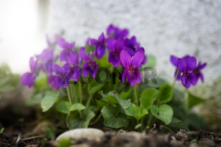 Duftveilchen, Viola Odorata, Nahaufnahme