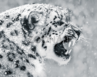Snow Leopard In Snow Storm II