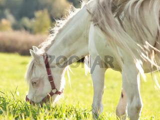 cream welsh pony dam in the field.