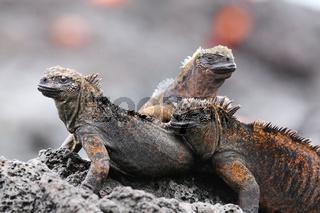 Marine iguanas on Santiago Island in Galapagos National Park, Ecuador