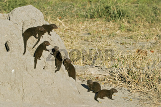 Suedliche Zwergmangusten, Mangusten (Helogale parvula) an einem Termitenhuegel, Moremi National Park, Moremi Wildlife Reserve, Okavango Delta, Botswana, Afrika, Common Dwarf Mongoose, Africa