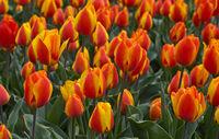 Orangefarbene Tulpen auf einem Tulpenenfeld, Blumenzwiebelregion Bollenstreek, Niederlande