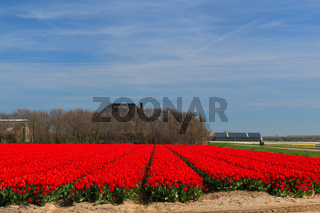 Field red tulips