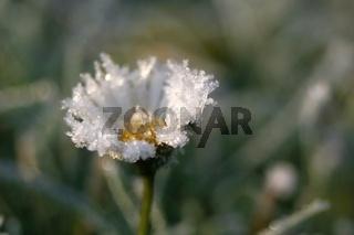 Gaensebluemchen in Eis