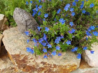Blaurote; Steinsame; Aegonychon, purpurocaeruleum