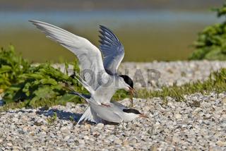 Flussseeschwalbe Kopula - Sterna hirundo- common tern