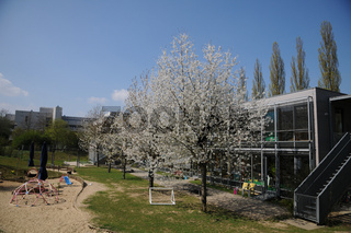 Prunus avium, Suesskirsche, Sweet Cherry, in Kindergarten