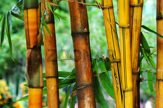 The yellow and the brown bamboo tree