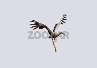 Weißstorch Ciconia ciconia